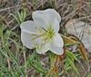 Oenothera cf. pallida