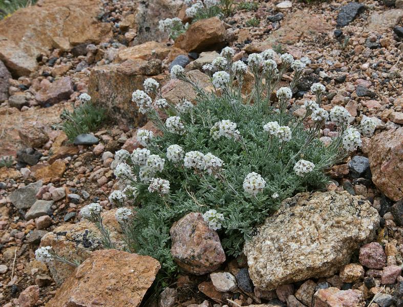 Smelowskia calycina, Alpine Smelowskia, Beartooth Plateau >3000m
