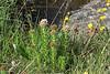 Sedum integrifolium