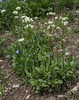 Valeriana occidentalis
