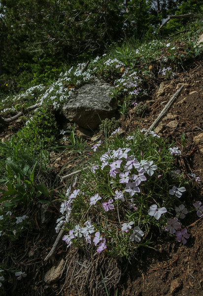 Phlox cf. longifolia