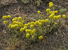 Eriogonum flavum, (syn. E. piperi)
