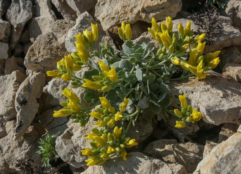 Lesquerella alpina