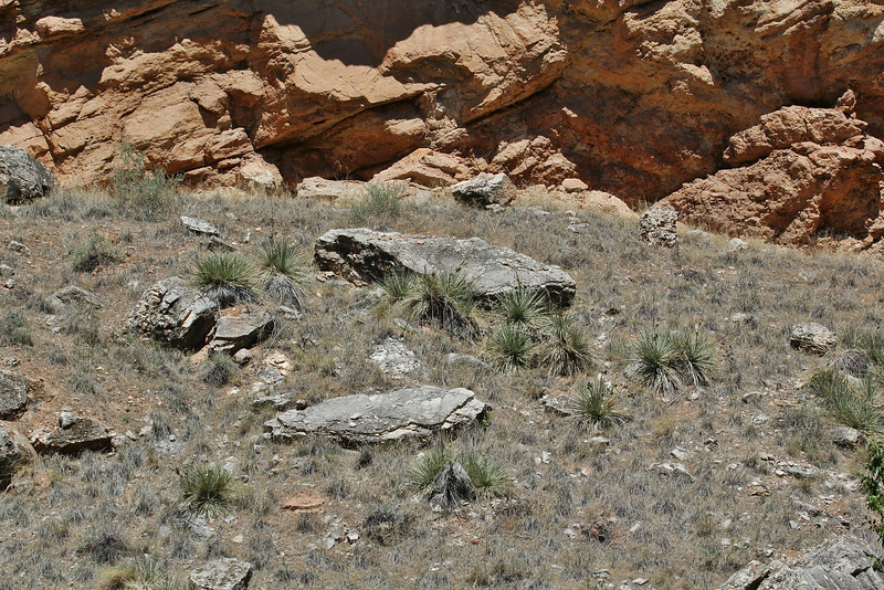 Yucca glauca?
