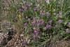 Astragalus,Oxytropis?