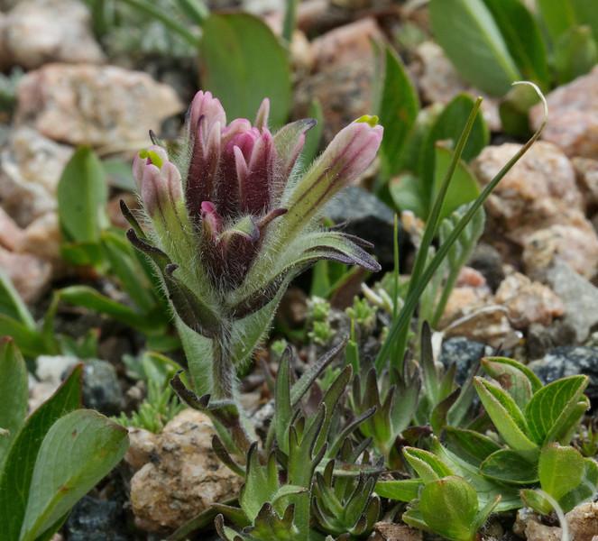 Castilleja pulchella, Alpine Meadow Paintbrush, Bearteeth Plateau.