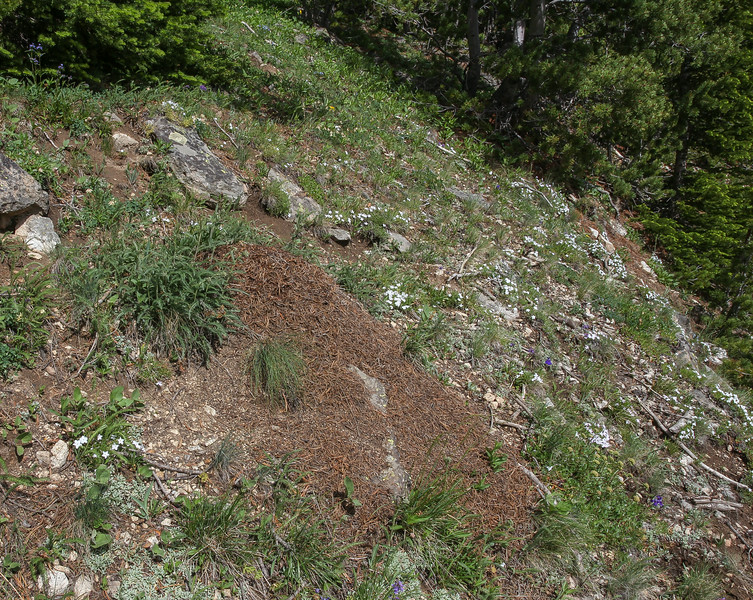 Dome-like nest of Formica obscuripes in habitat of Phlox cf. longifolia