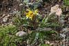Pedicularis oederi