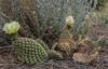 Opuntia polyacantha var. polyacantha