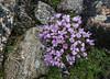 Douglasia montana