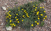 Pentaphylloides floribunda