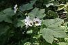 Rubus parvifolius