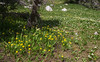 Erithronium grandiflorum and Caltha leptosepala,