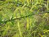 Salix spec.