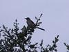 Mimus polyglottos, Northern Mockingbird, (NL: Spotlijster)