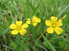 Oxalis stricta, yellow woodsorrel