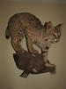 Lynx rufus, Bobcat (Starkville MS Autumn 2008)
