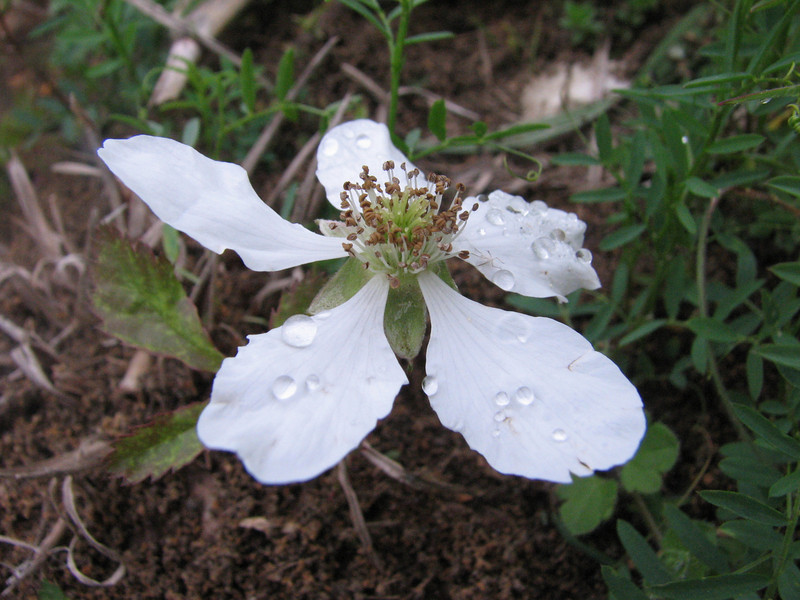 Rubus trivialis, Southern dewberry