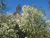 Baccharis halimifolia, Saltbrush