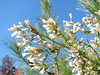 Baccharis halimifolia,(Saltbrush, close up seed)