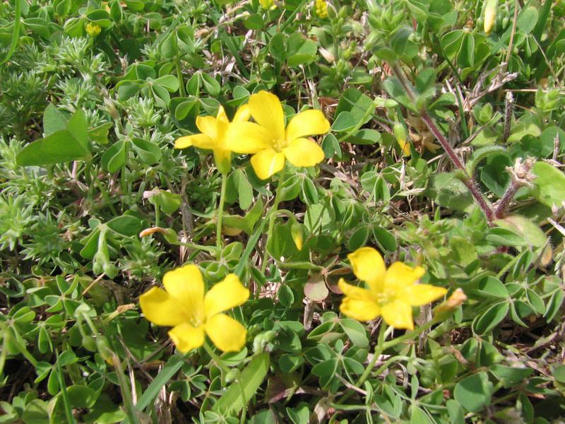 Oxalis stricta, yellow woodsorrel