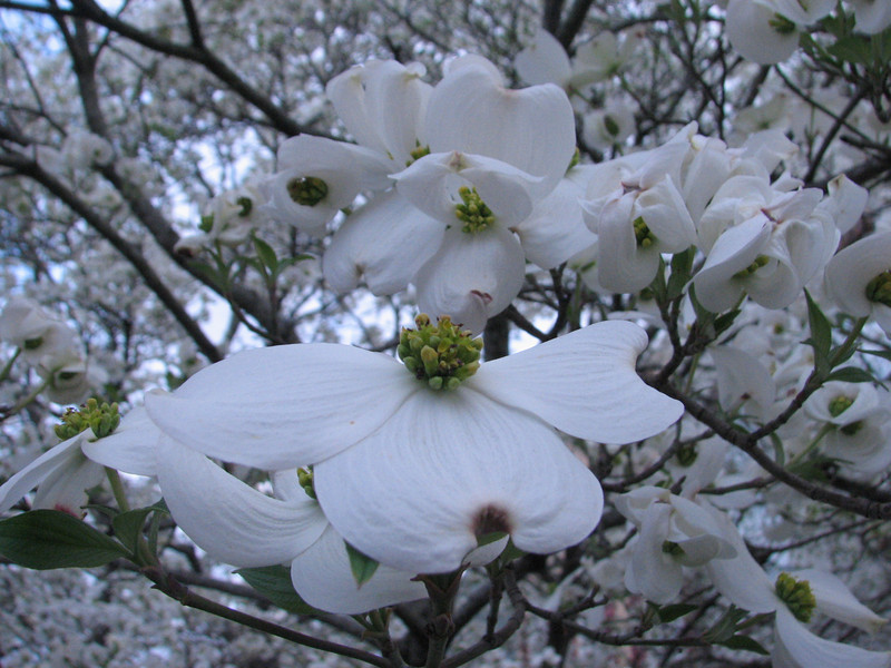 Cornus florida, dogwood