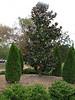Magnolia spec. (Campus Mississippi State University Starkville MS)