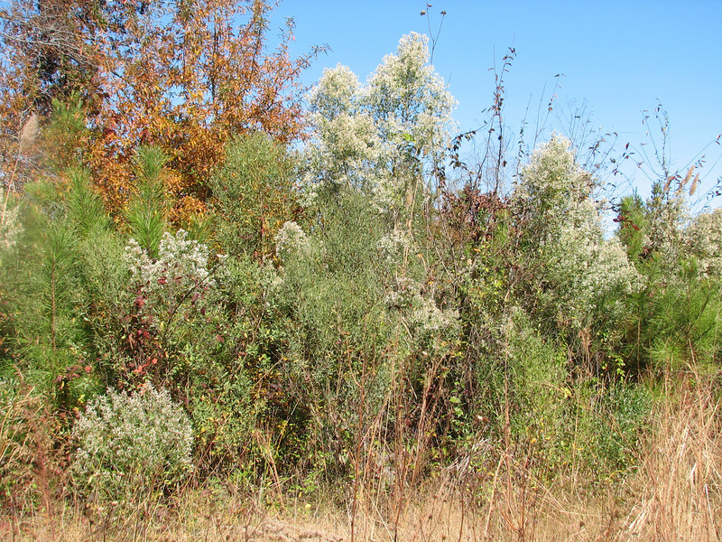 Autumn 2008 Baccharis halimifolia, Saltbrush, Autumn in Mississippi (November 2008 Starkville MS)