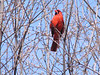 Richmondena cardinalis, Red Cardinal