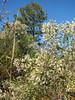 Baccharis halimifolia,(Saltbrush in seed)