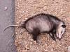 Didelphis viginiana, Opossum, trafic victim