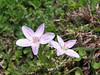 Claytonia cf. lancealata, Spring Beauty
