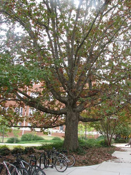 Quercus spec. Oak spec. (Campus Mississippi State University Starkville MS)