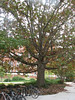 Quercus spec. Oak spec. (Campus Mississippi State University Starkville MS)