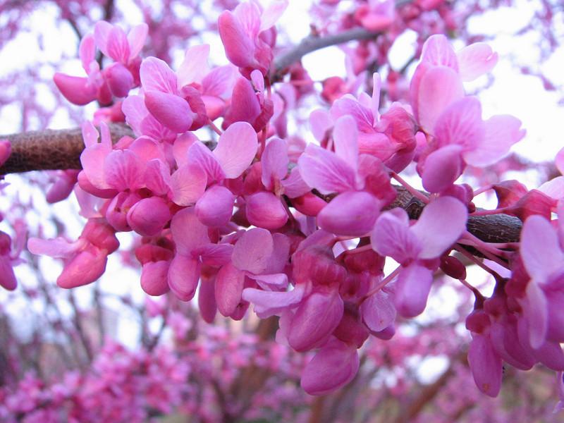 Cercis canadensis ssp. canadensis Judas tree/Redbud