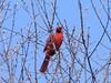 Richmondena cardinalis, Red Cardinal