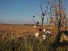 Cotton fields (background: Paper mill near Columbus MS)
