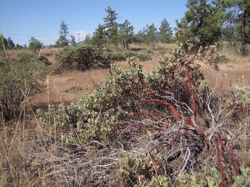 Arctostaphyllos spec. West of Jedidiah Smith SP, California