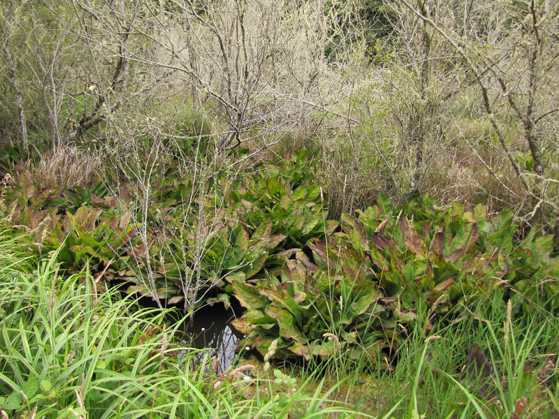 Lysichiton americanus (Near Klamath, north of Orick, California)