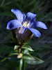 Gentiana calycosa (Howland Hill Road, Jedediah Smith SP, California)
