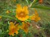 Mimulus aurantiacus, near South Fork Road, West of Jedidiah Smith SP, California