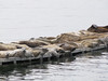 Phoca vitulina, Harbor Seal