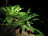 Polystichum munitum (Avenue of the Giants, Humboldt Redwoods State Park)