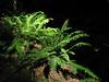 Polystichum munitum (Avenue of the Giants, Humboldt Redwoods State Park)