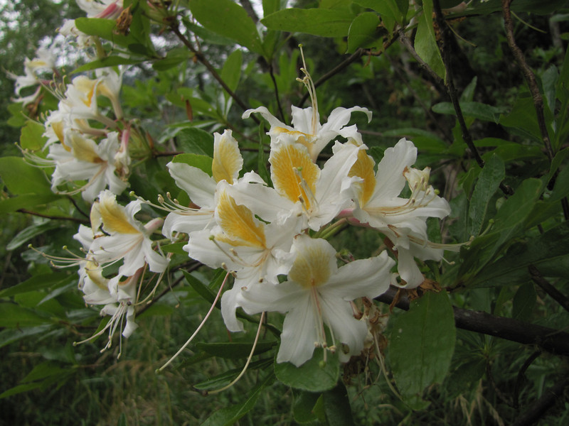 Rhododendron occidentale (Smith River near Howland Hill Road, Jedediah Smith SP, California)