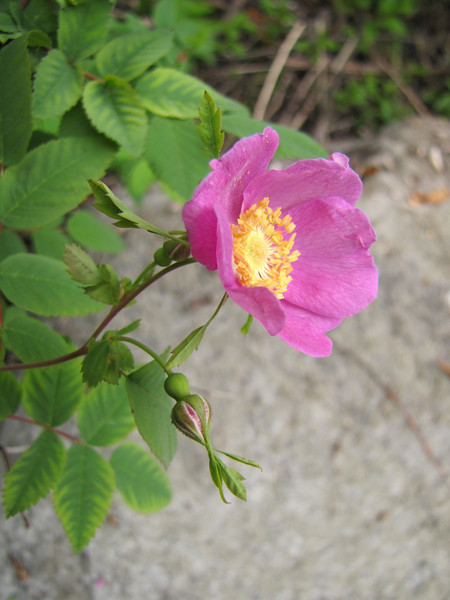 Rosa nutkana? along Smith River, Jedidiah Smith Redwood SP