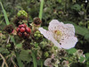 Rubus spec. South of Crescent City
