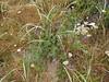 Lupinus spec. (Humboldt Lagoon SP, California)