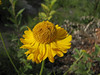 Helenium bigelovii? (Smith River near Howland Hill Road, Jedediah Smith SP, California)