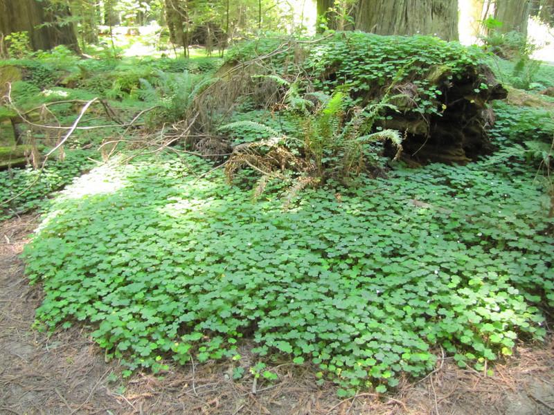 Oxalis oregano (Avenue of the Giants, Humboldt Redwoods State Park, California)